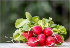 Radishes – red, white and peppery